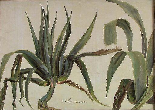 Plantestudier, agaver