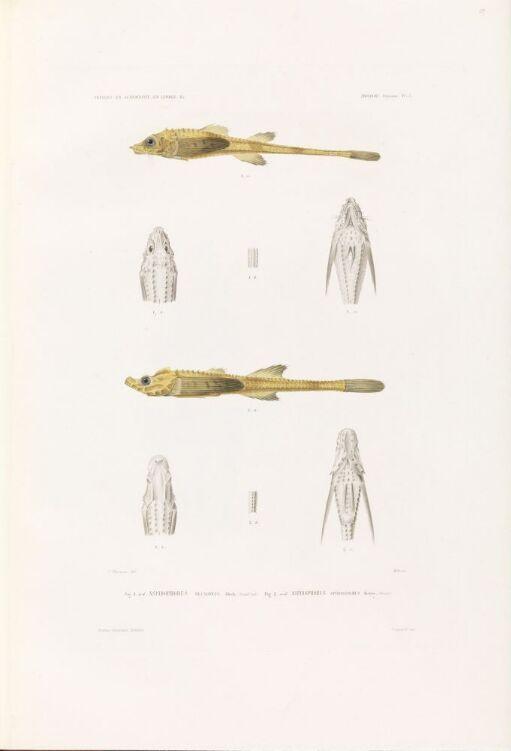 Aspidophorus decagonus; Aspidophorus spinosissimus