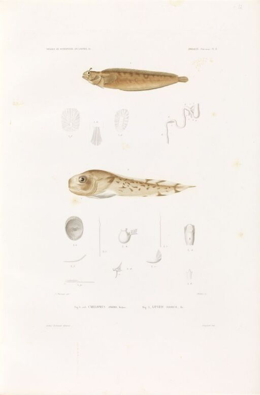 Carelophus strömii; Liparis fabricii