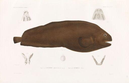 Anarhicas denticulatus; Anarhicas lupus