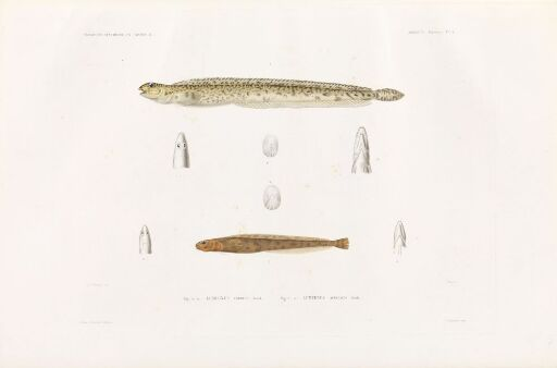 Lumpenus frabricii; Lumpenus acuelatus