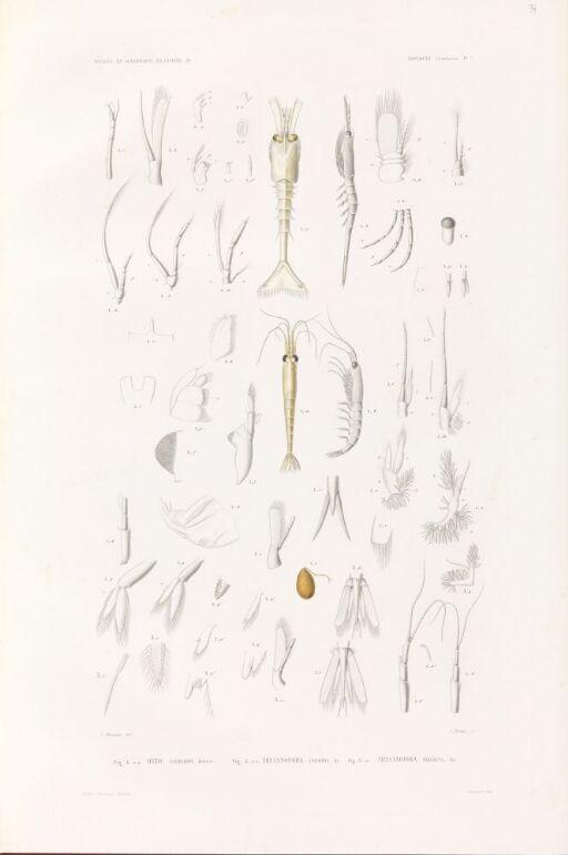 Myto gaimardii; Thysanopoda inermis; Thysanopoda neglecta