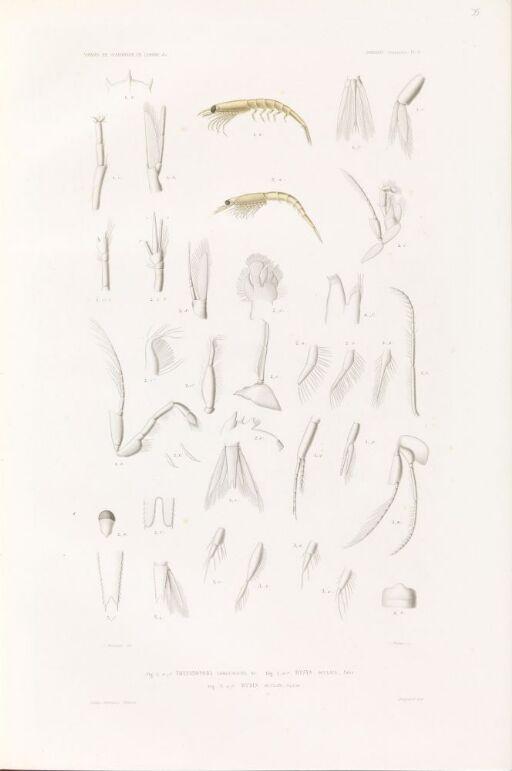 Thysanopoda longicaudata; Mysys oculata; Mysis oculata junior