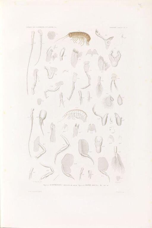 Acanthonotus tricuspis; Anonix minutus