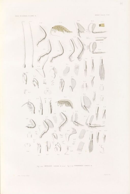 Amphelisia gaimardii; Pontoporeia femorata