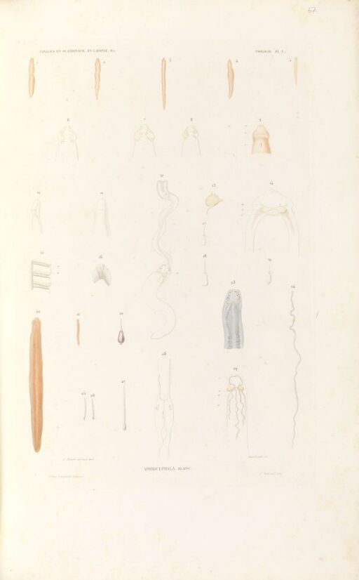 Aporocephala blainv.
