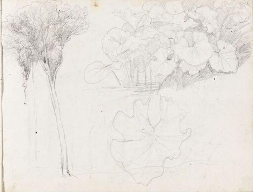 Pinjetrær og plantestudier