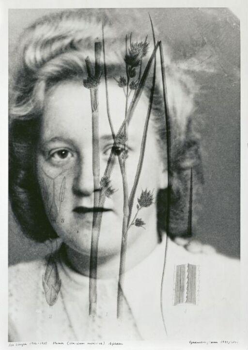 Åse Lingen (1926–1985) Cladium Moriscus, Rare