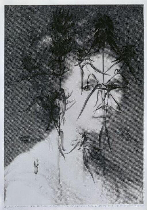 Angelica Kaufmann (1741–1807) Kammaribjelle, Melamphyrium christatum, sterkt truet
