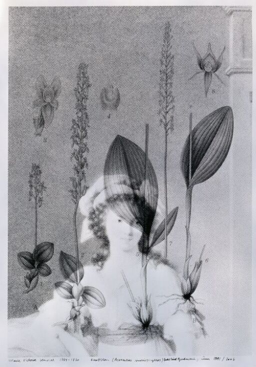Marie Victoire Lemoine (1754–1820) Knottblom, Acroantes monophyllos, sterkt truet
