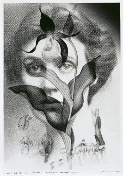 Vanessa Bell (1879–1961) Cyperipedium Calceoulus, Rare